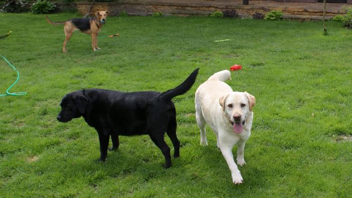 Labrador Nedar