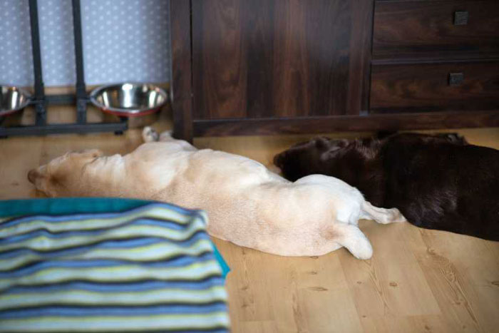 Labradory Pago i Skiper
