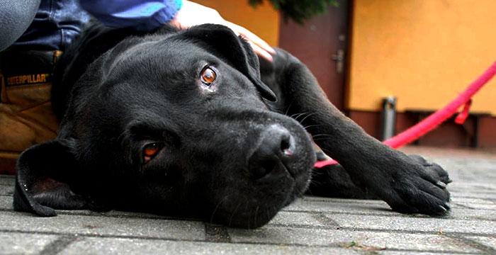 Labrador Zefir