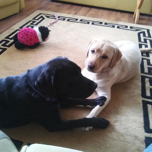 Labradorka Dora i Pola