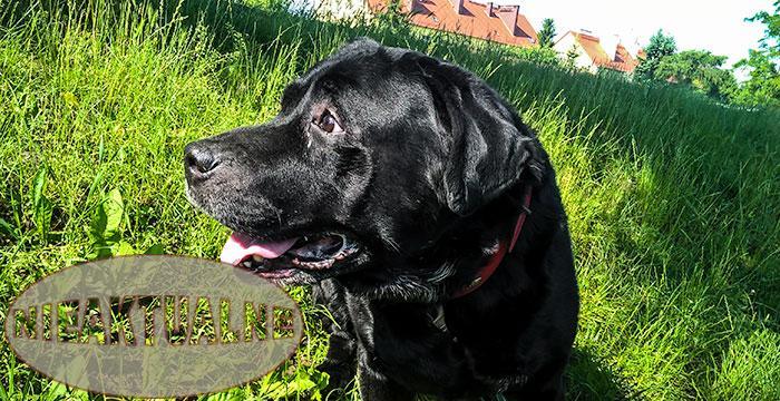 Labrador Harry