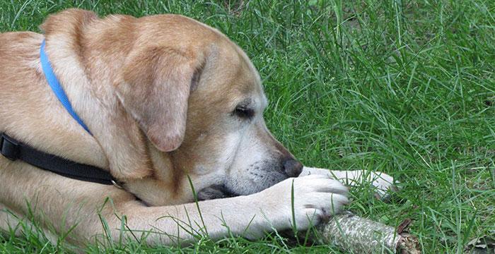 Labrador Tofik