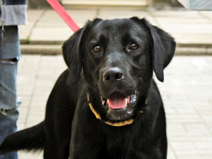 Labrador Aron