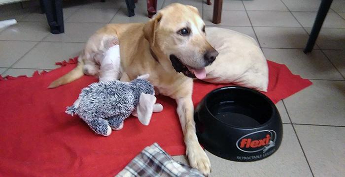 Labrador Dingo
