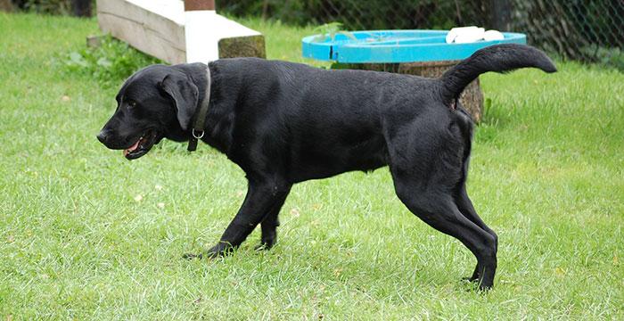 Labrador Piorun