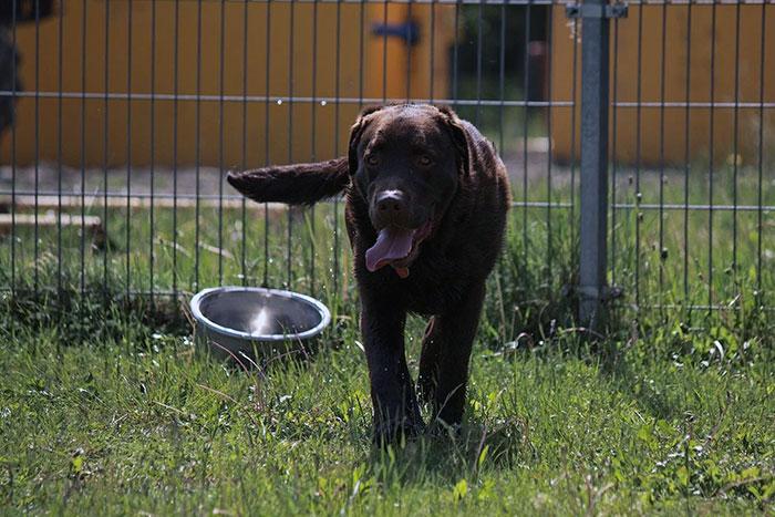 Labrador Wedel