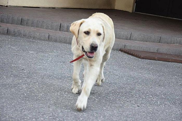 Labradorka Lola