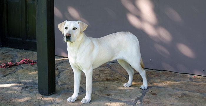 Labradorka Molly