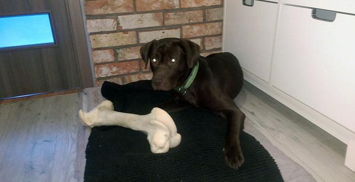 Labrador Loki