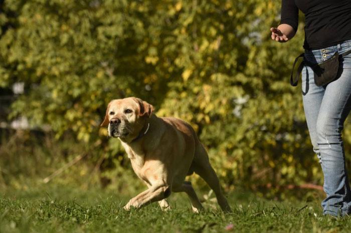 Labrador Lucky