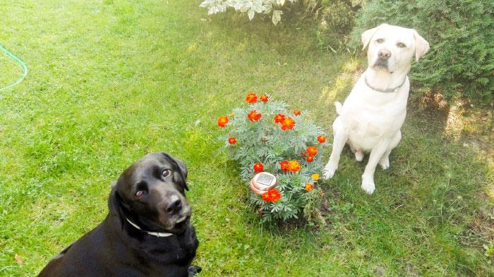 Labradory Luna i Harry