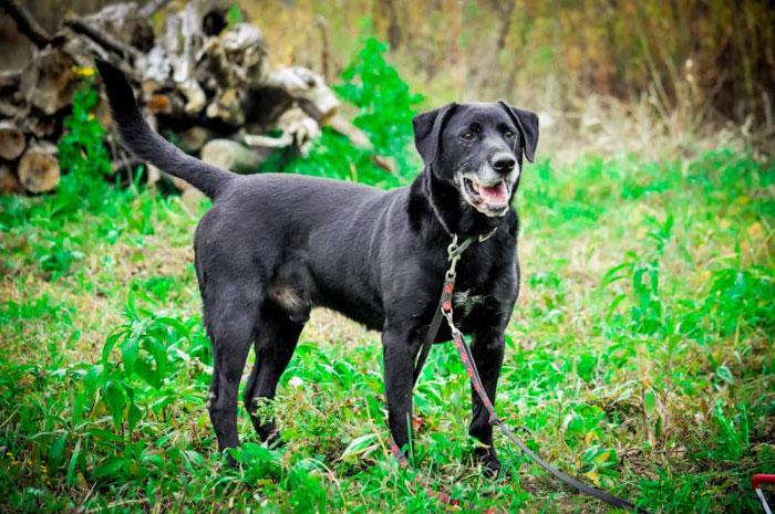 Labrador Mako
