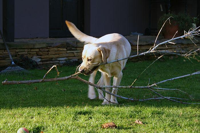Labrador Sadi