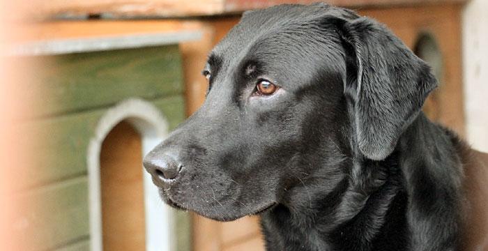 Labrador Carlos