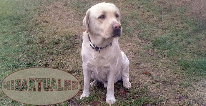Labrador Filip