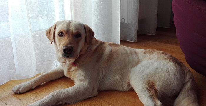 Labrador Rysio