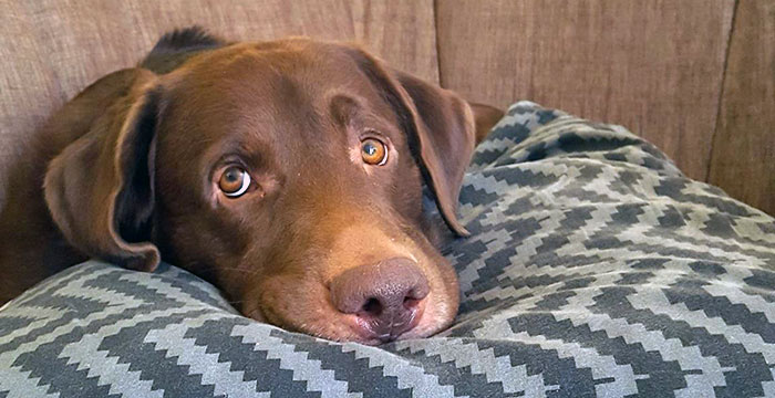 Labrador Tyson