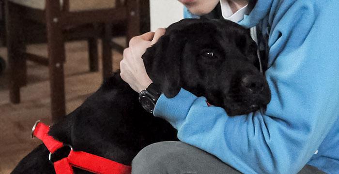 Labrador Amor