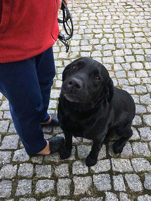 Labrador Bono