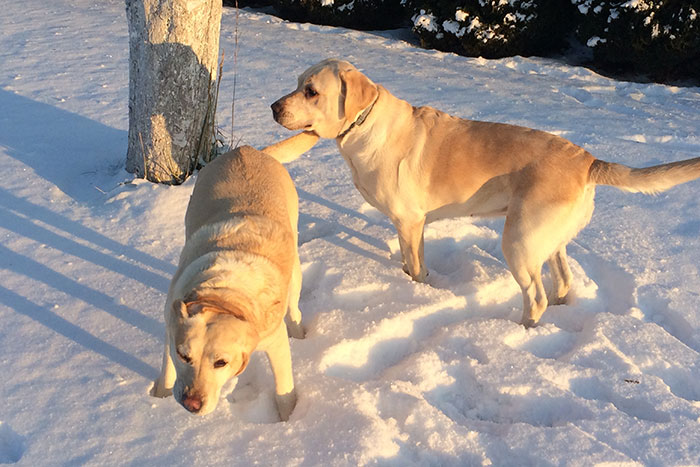 Labradorki Cookie i Mika