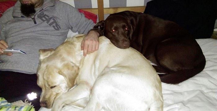 Labrador Imbir