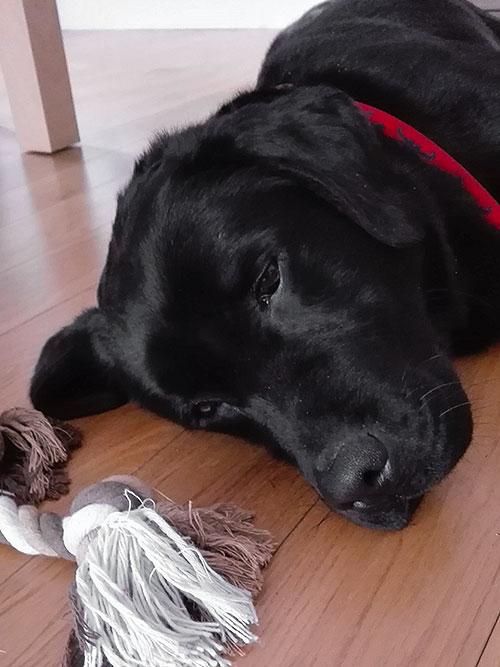Labrador Nobi