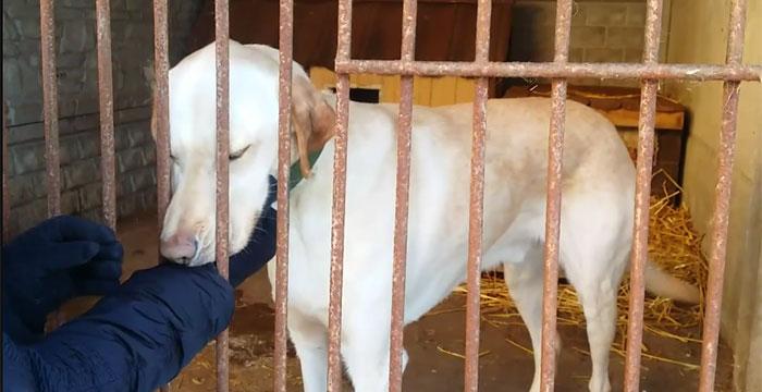 Labrador Ramzes