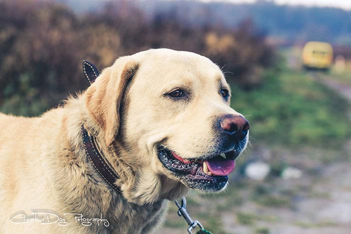 Labrador Worek