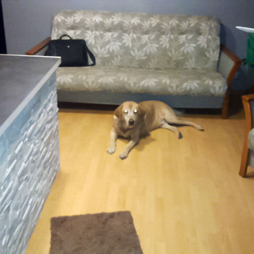 Labrador Aston
