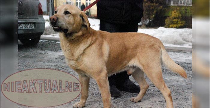 Labrador Atos