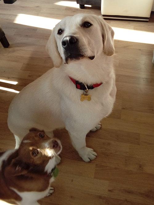 Labrador Baggie