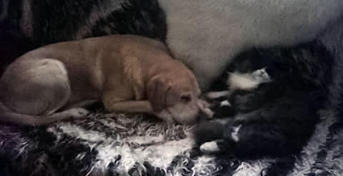 Labrador Alus (Blind)