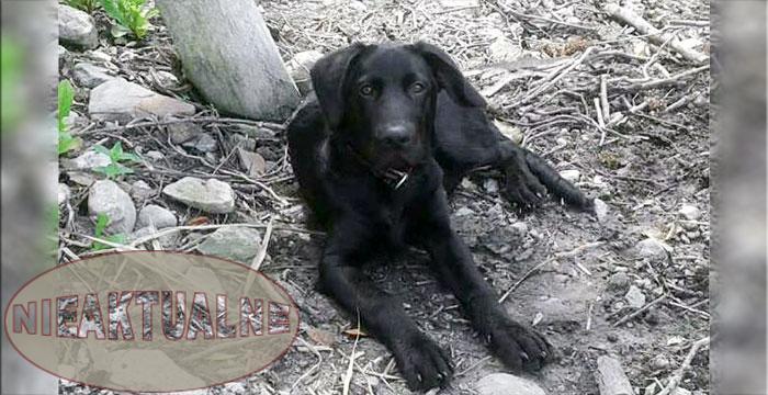Prawie Labrador Bob