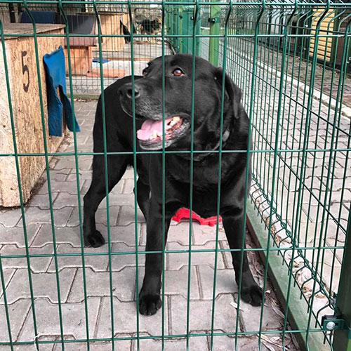 Labrador Fago