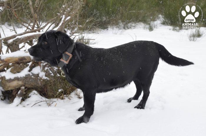 Labradorka Hana