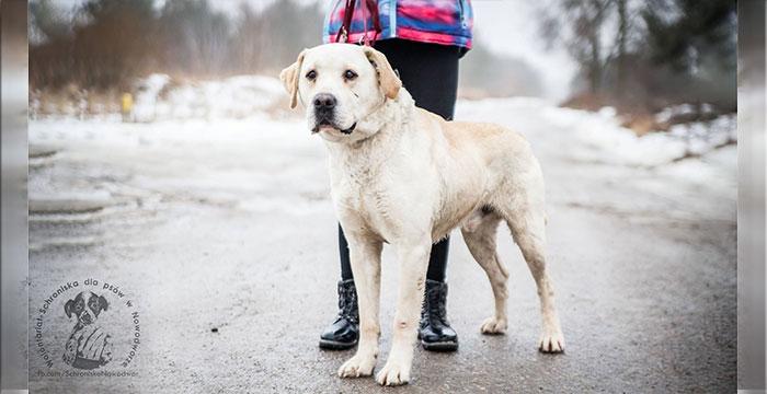 Labrador Joguś