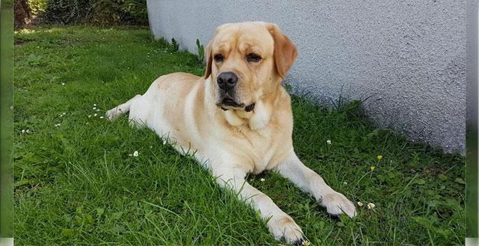 Labrador Rufi