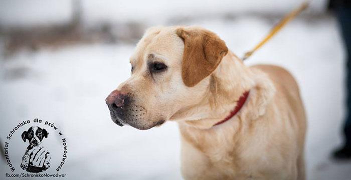 Labrador Szyper