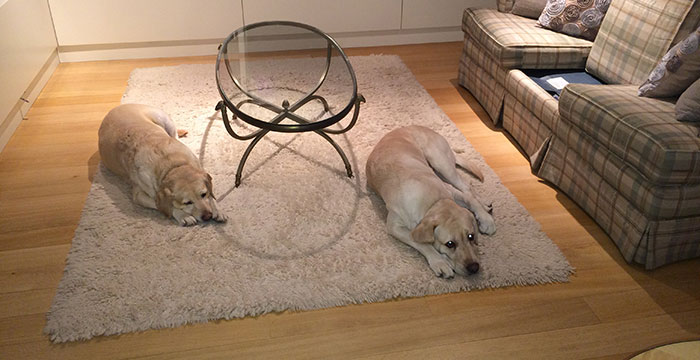 Labradory Mika i Cookie