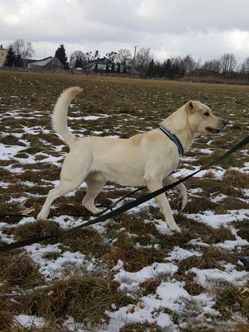 Labradorek Dyzio