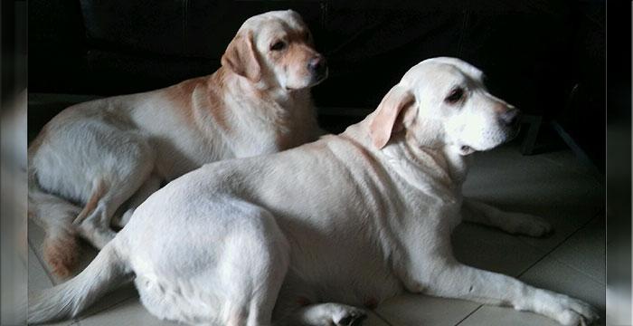 Labradory Lizak i Koni