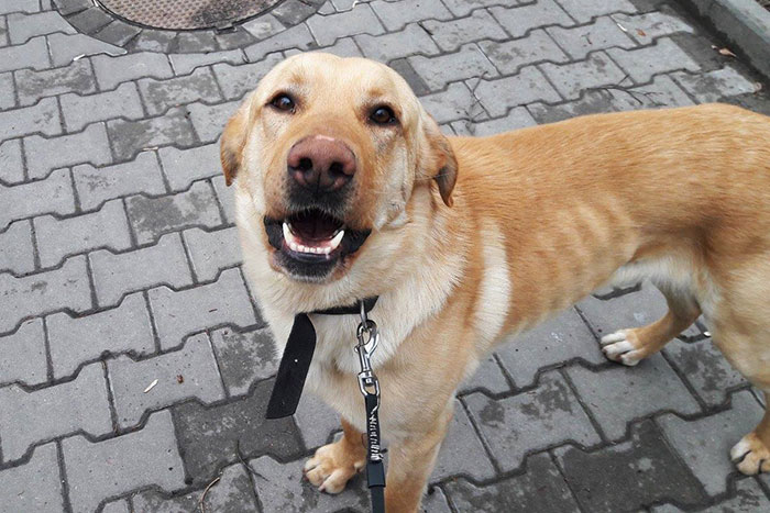 Labrador Lolek