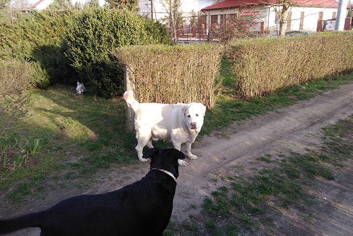 labrador Madox