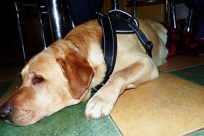Labrador Vito