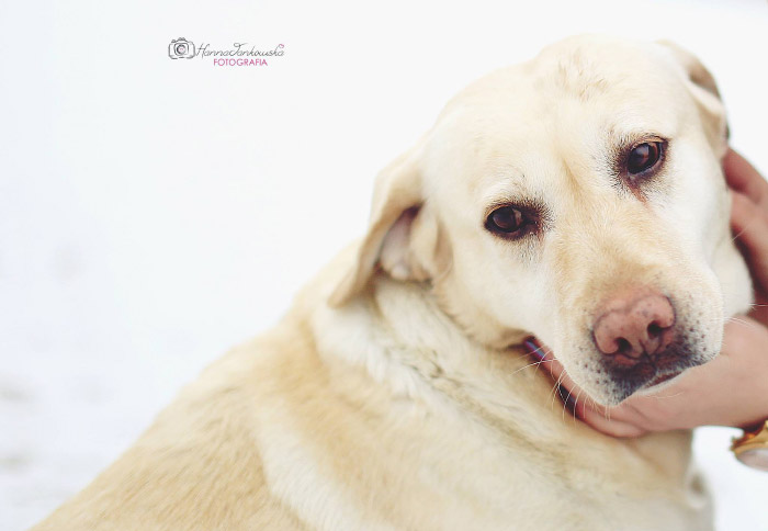 Labradorka Buka
