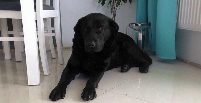 Labrador Chivas