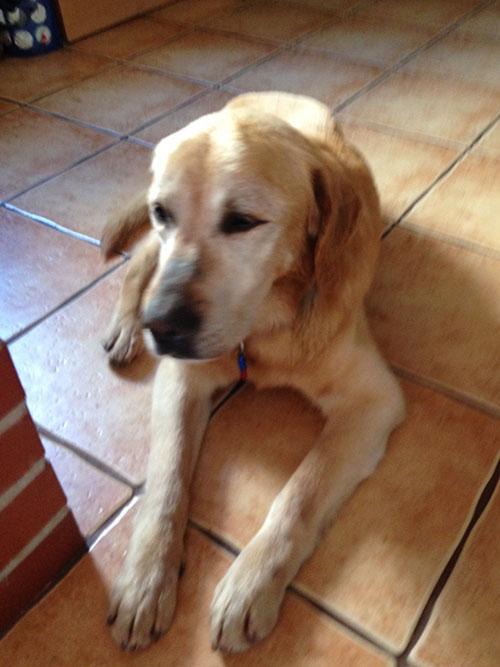 Labrador Dizel