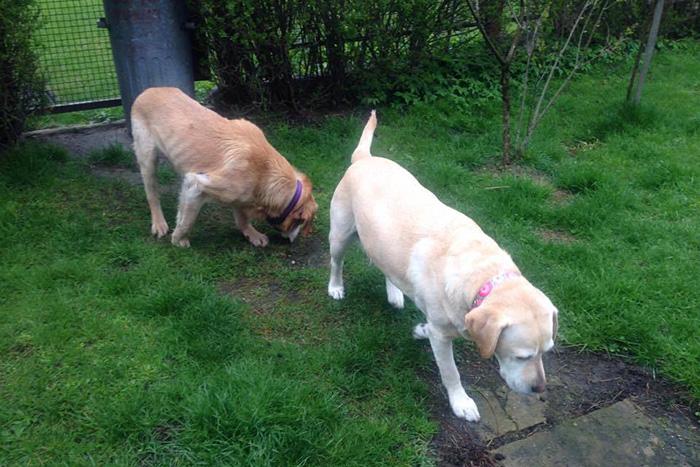 Labrador Dizel w potrzebie
