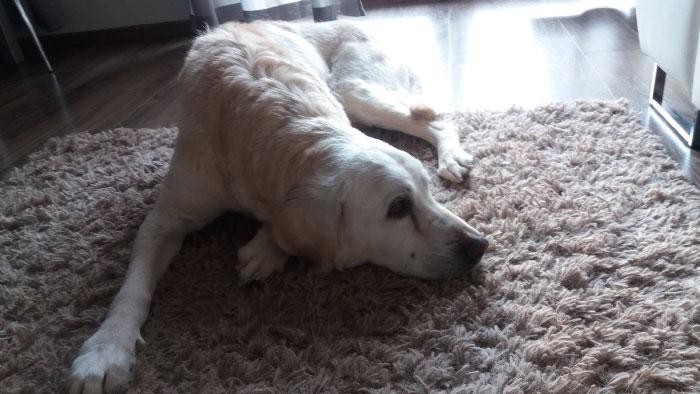Labradorka Hania w potrzebie