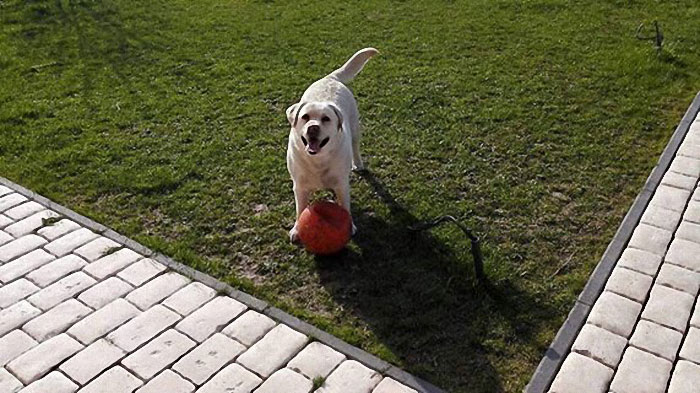 Lena, labradorka w potrzebie